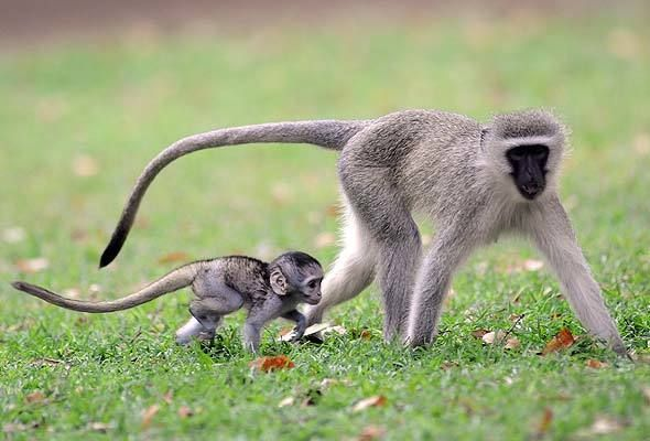 5 Amazing Animals That Start With The Letter V Vervet Monkey Monkey Species Cute Baby Monkey