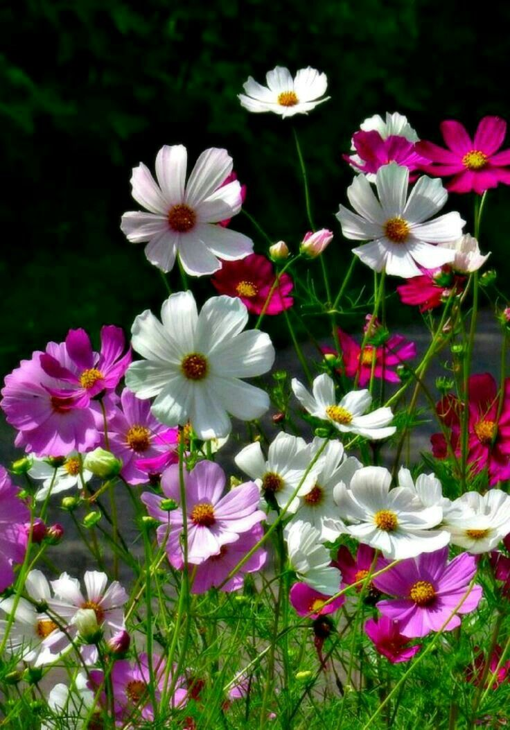 Pin By T Y On Sahara Fah In 2020 Cosmos Flowers Rose Flower Wallpaper Amazing Flowers