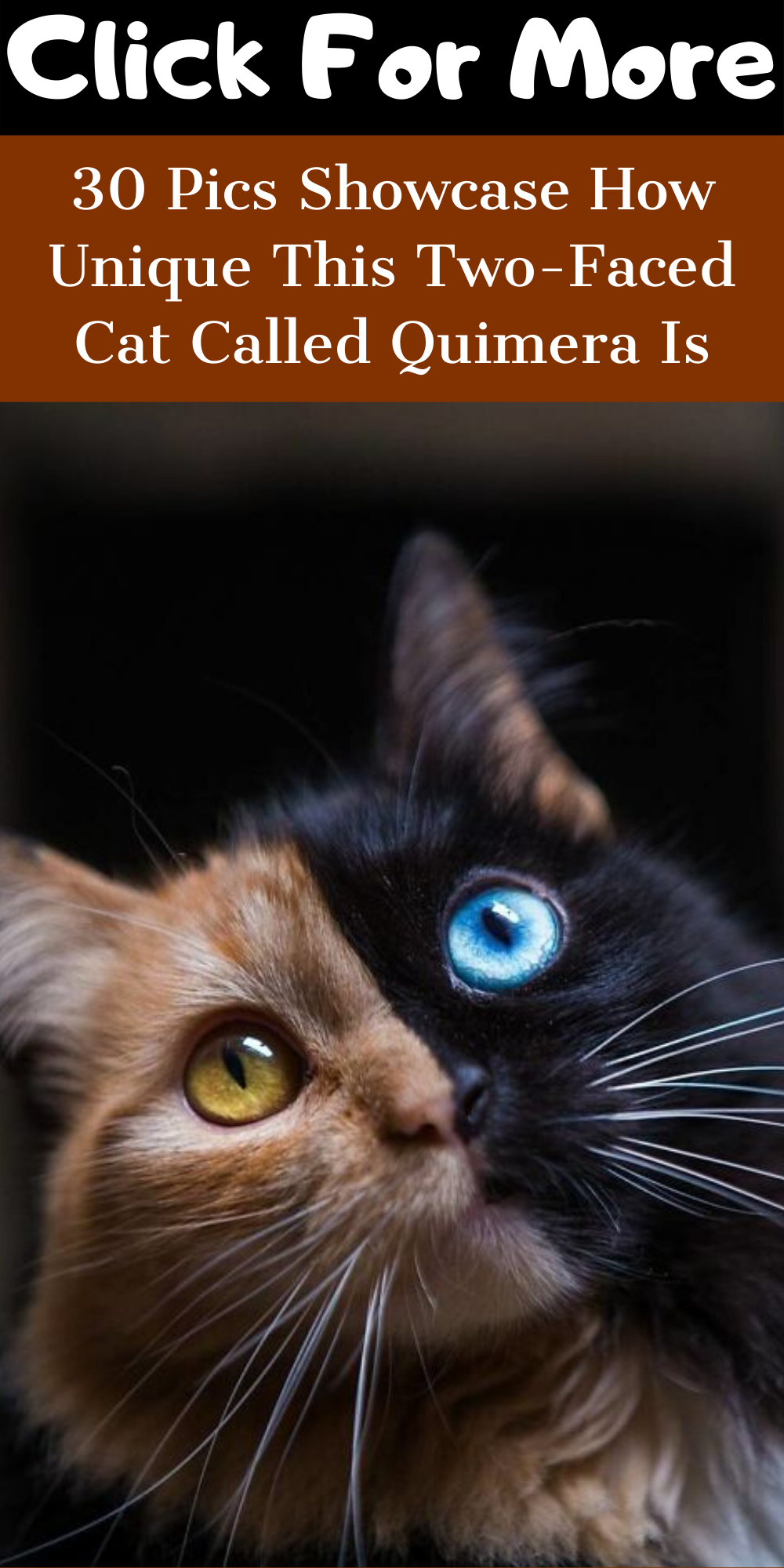 30 Pics Showcase How Unique This Two Faced Cat Called Quimera Is
