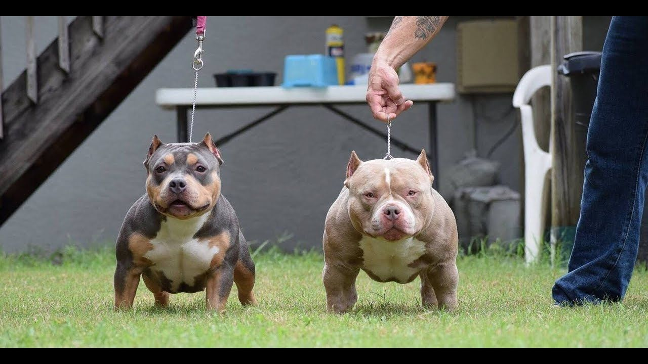 Several Top Pocket Bully Kennels Team Up Over Busy Weekend American Bully Pocket Bully Pitbull Puppies