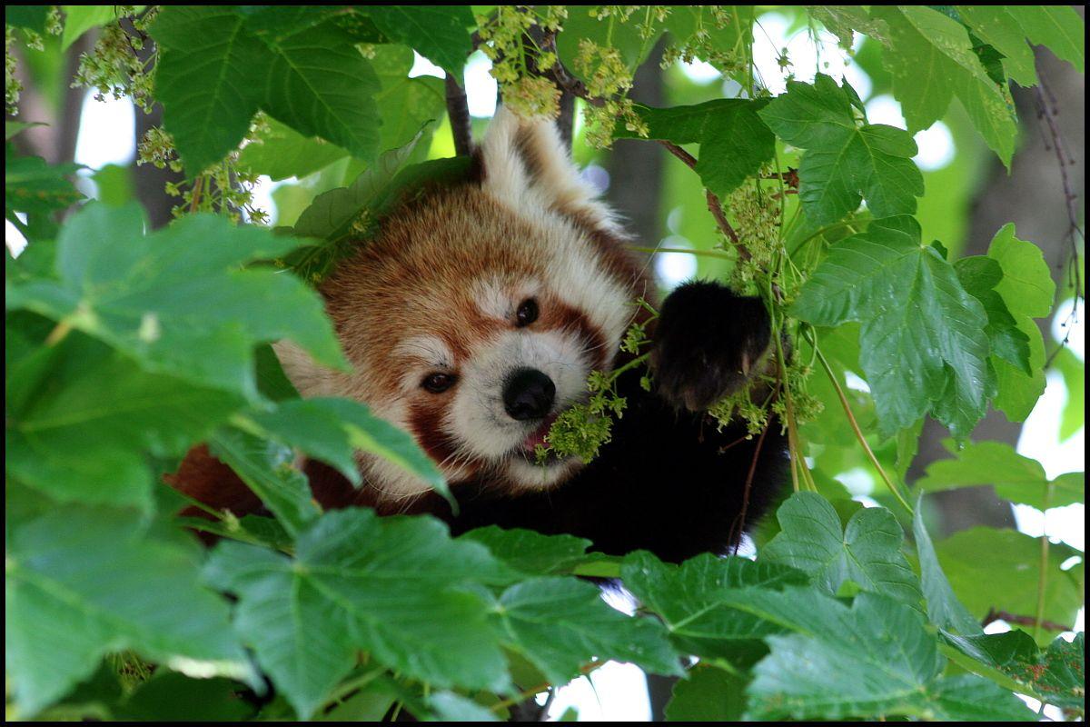red pandas eating berries google search red pandas