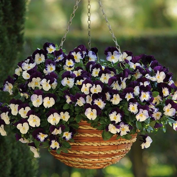Our pansy cool wave violet wing hanging baskets are ideal for winter & spring displays. Not only are they one of the best trailing & spreading pansies on the market, but they're also extremely hardy and will flower again in the spring! They produce an abundance of stunning violet, medium size flowers that just keep on coming right up until the heavy frosts & will look stunning hanging either side of your porch on a cold winters day!  For guaranteed success, easy to look after & stunning ...