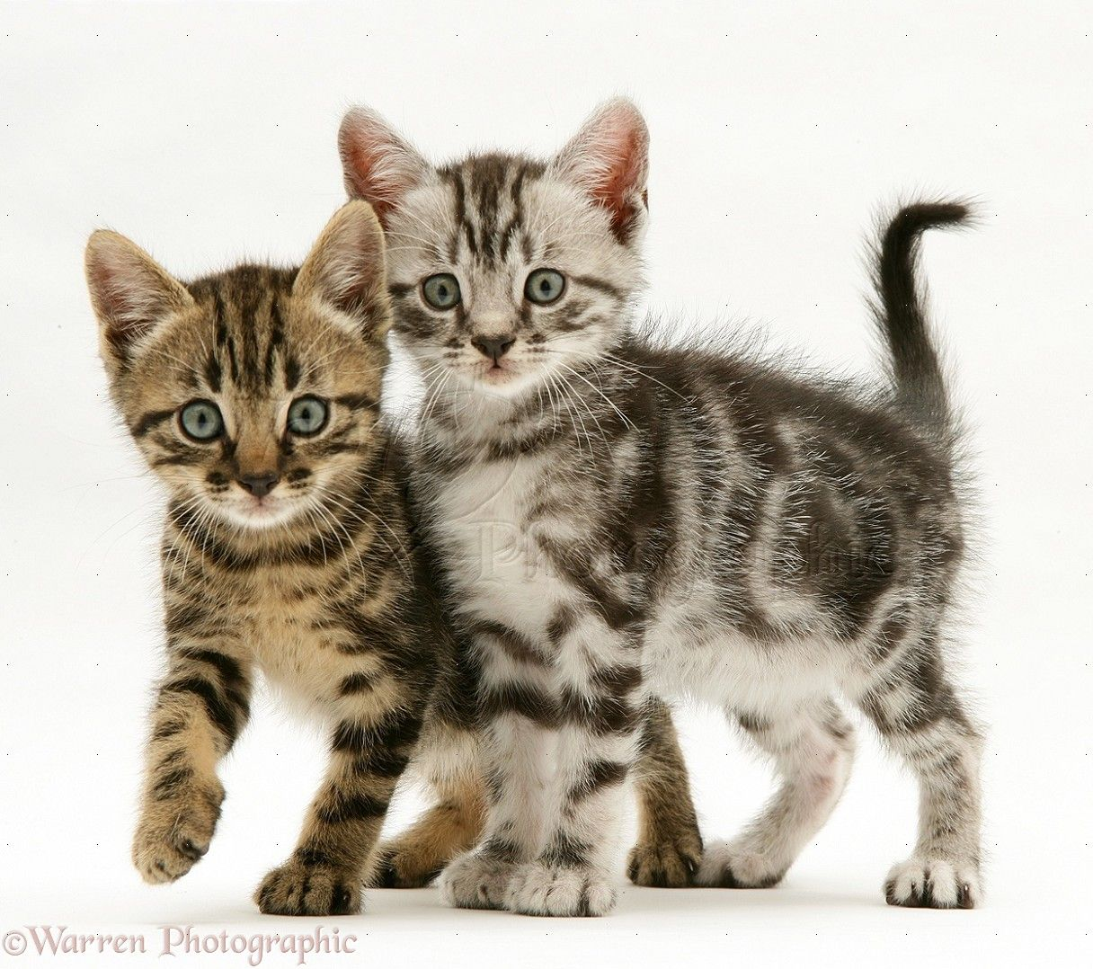 Brown And Silver Tabby Kittens Photo Wp14803 Silver Tabby Kitten Tabby Kitten Tabby Cat
