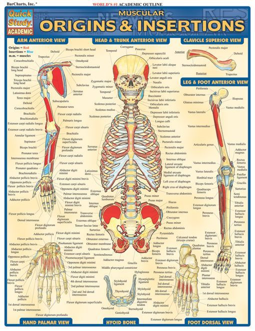 Muscular Origins & Insertions (With images) | Nurse ...
