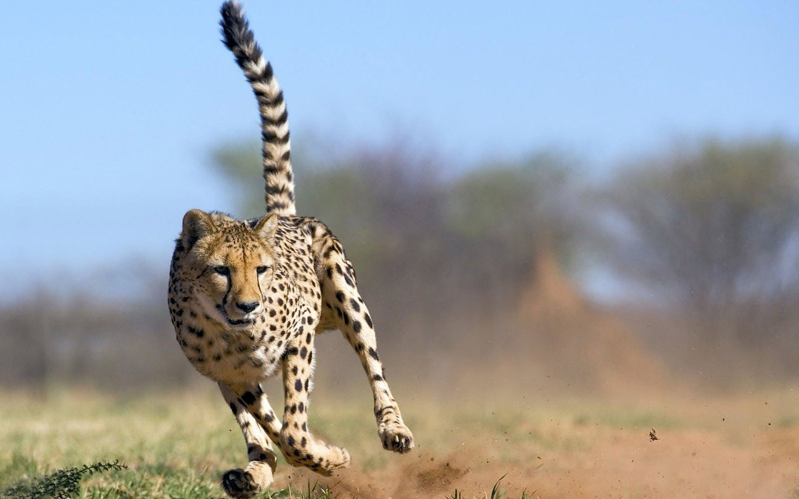 Fast Running Attacking Cheetah With Images Cheetah Pictures