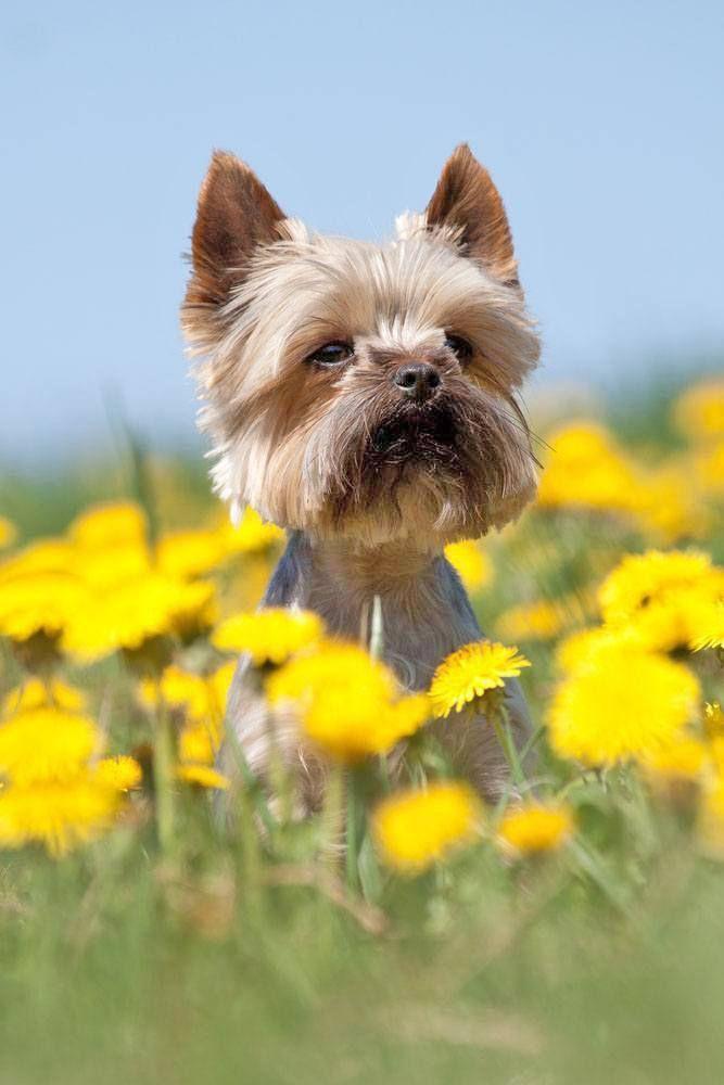 Yorkie Names Cute Male Female Yorkshire Terrier