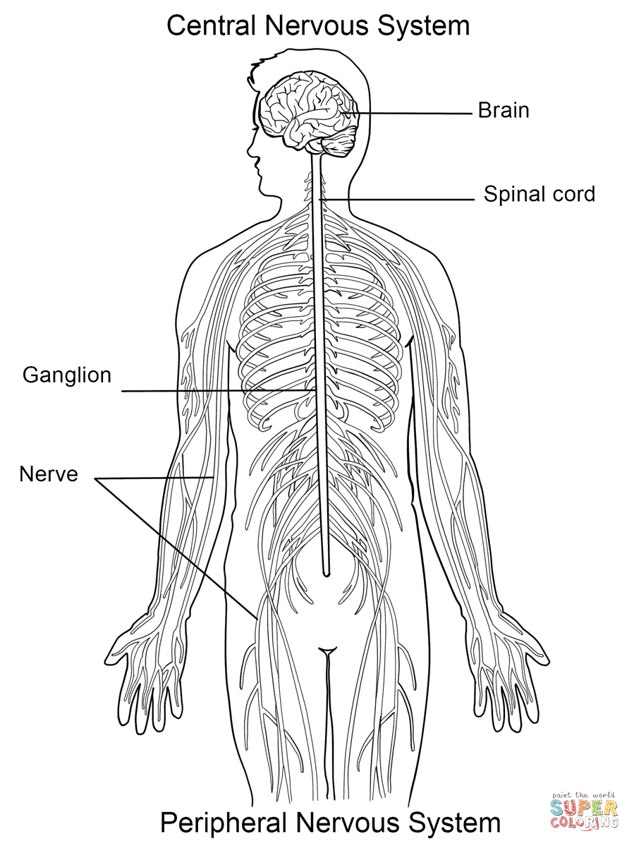 worksheet  the nervous system worksheet  fiercebad