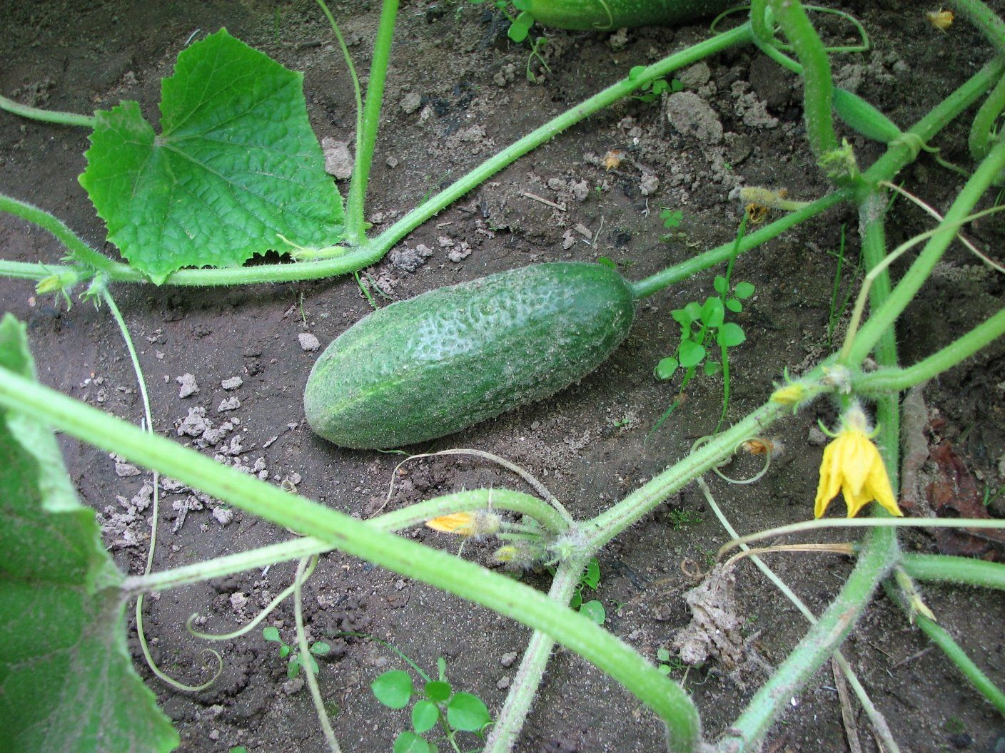 How to Grow Cucumbers in a Home Garden An Illustrated