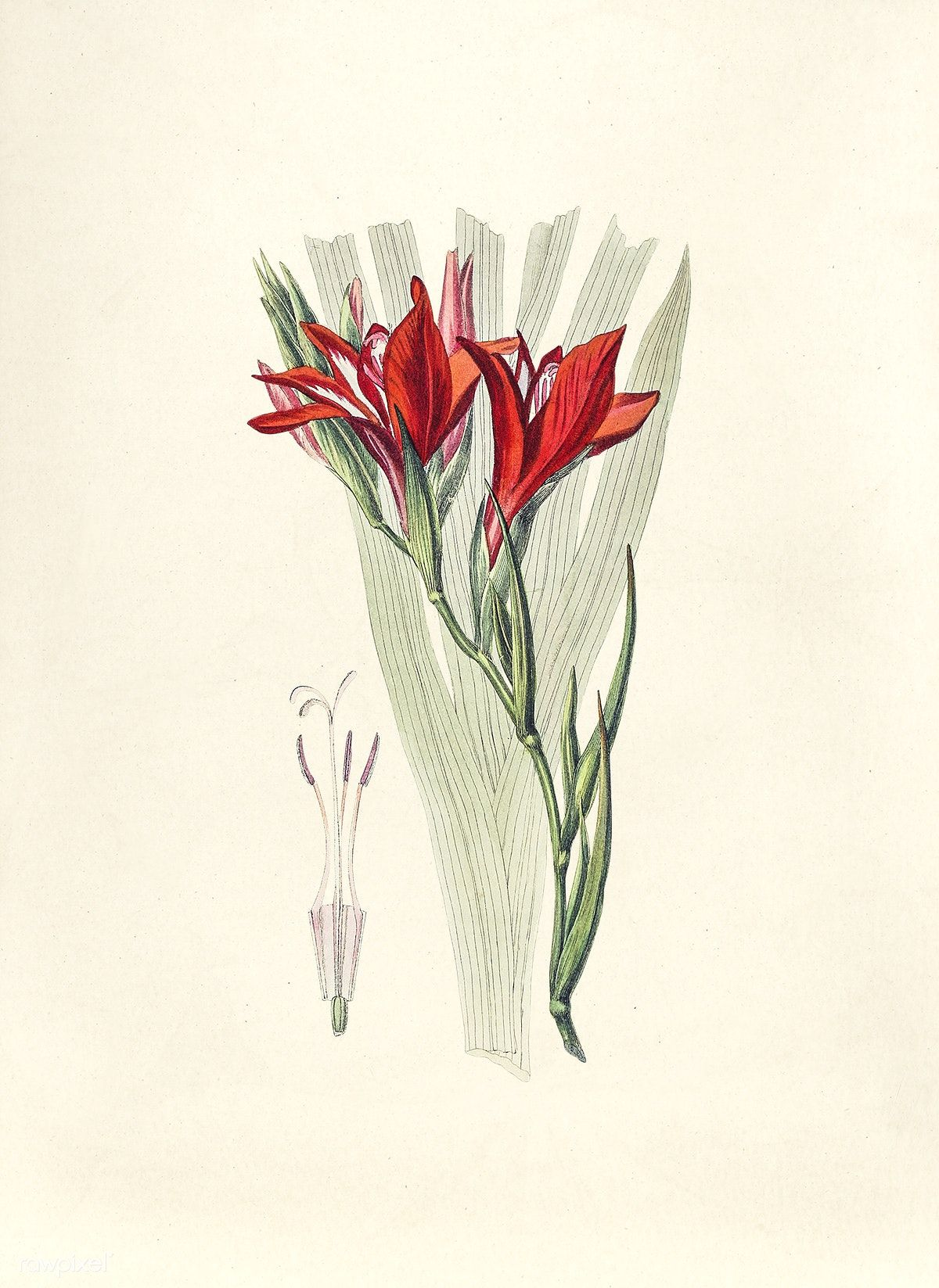 Antique Illustration Of Gladiolus Free Image By Rawpixel Com Antique Illustration Free Illustrations Illustration