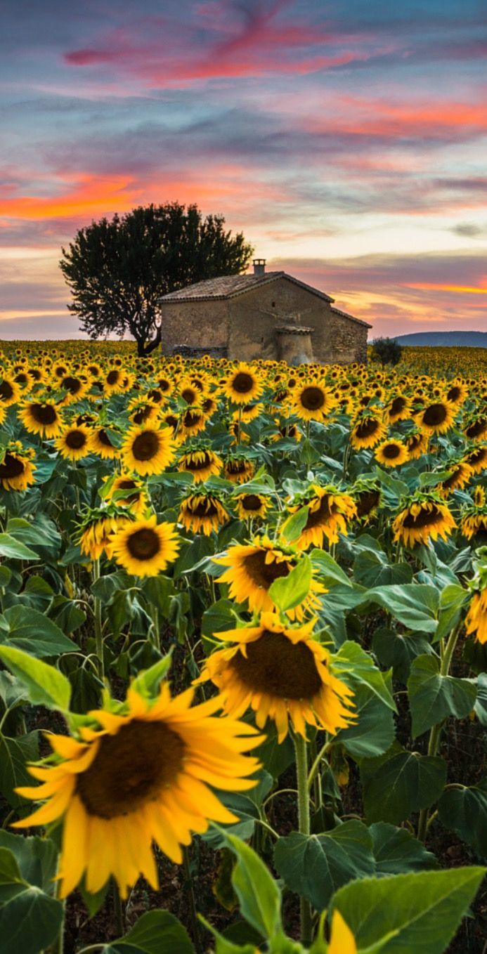 Sunflowers in Provence by Stefano Termanini / 500px (France)