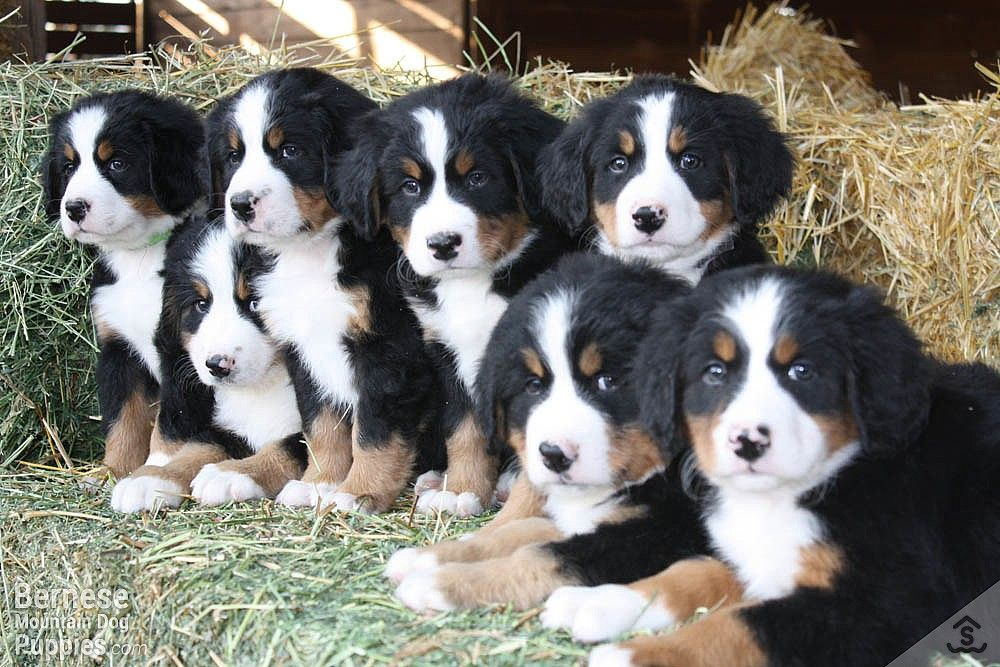 swiss mountain dog puppy for sale