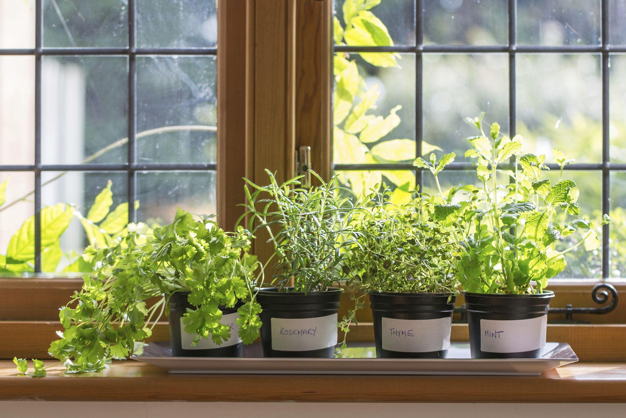 Indoor Herbs Bring Life Fragrance To Kitchen Windows In Winter