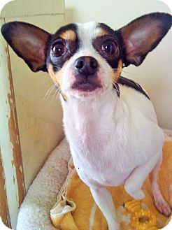 Mastic Beach Ny Chihuahua Rat Terrier Mix Meet Dexter A Dog