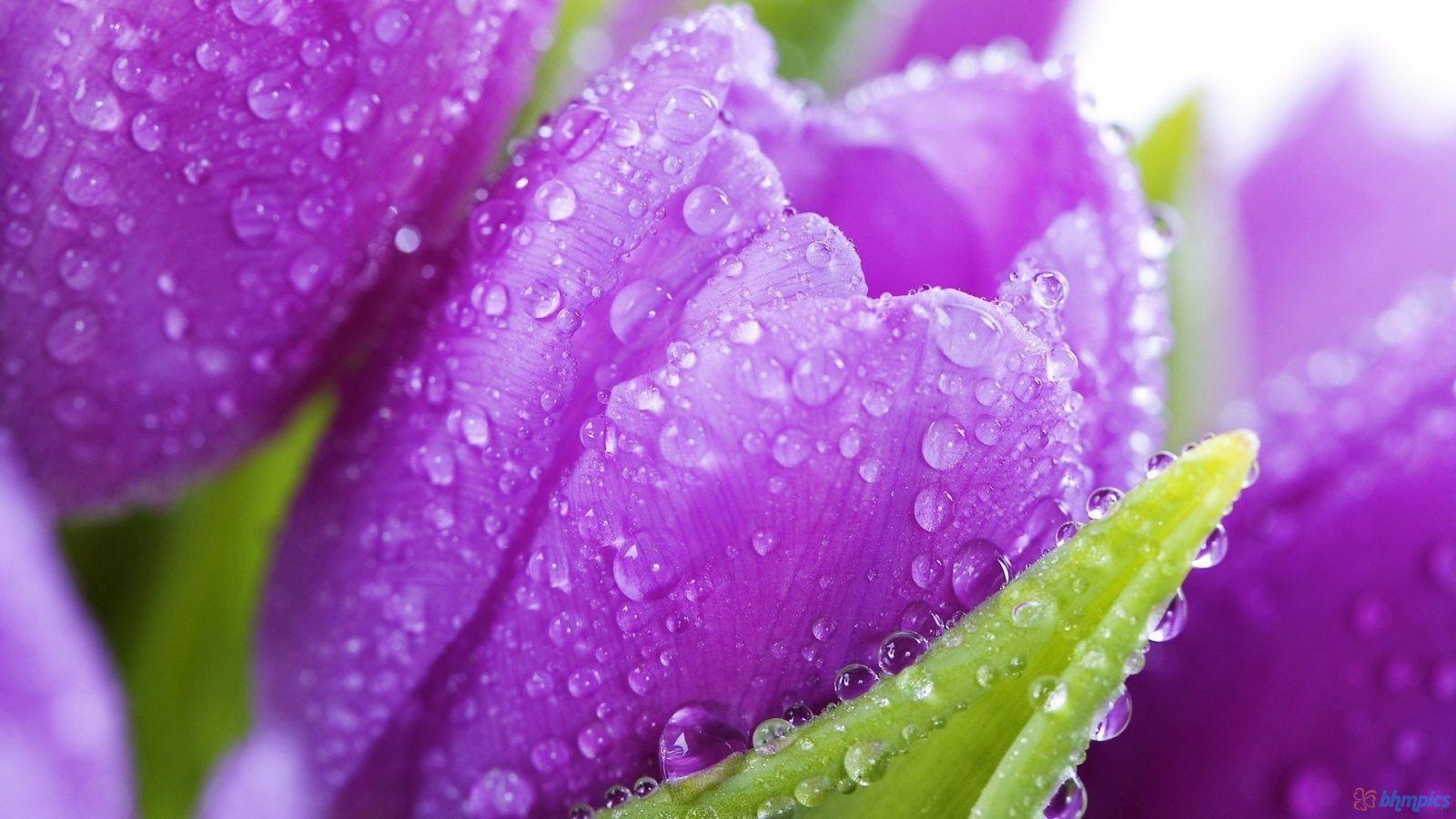 Purple Tulips 1600x900 2640 Hd Wallpaper Res 1600x900 Purple Flowers Wallpaper Tulips Flowers Purple Tulips