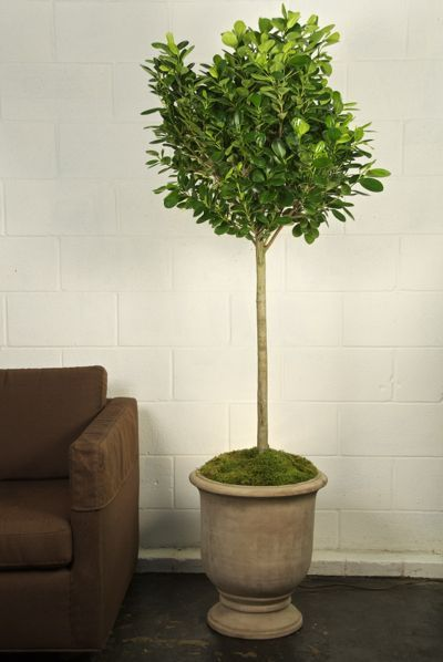 Ficus Daniella Price: $129.00 | Products for the Home | Pinterest ...