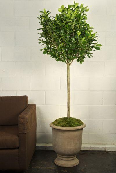 Houston\'s online indoor plant & pot store - Ficus Daniella ...