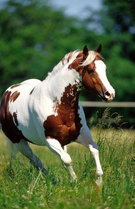 Elans Choice ༺ß༻ | horses | Caballos pintados, Caballo hermosos