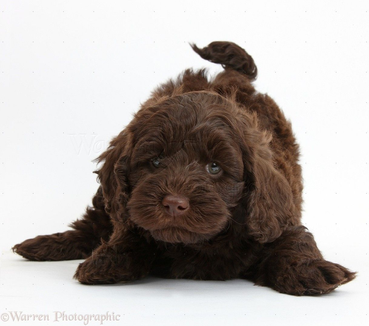 Dog Cute Chocolate Toy Goldendoodle Puppy In Play Bow Photo Goldendoodle Puppy Chocolate Goldendoodle Toy Goldendoodle