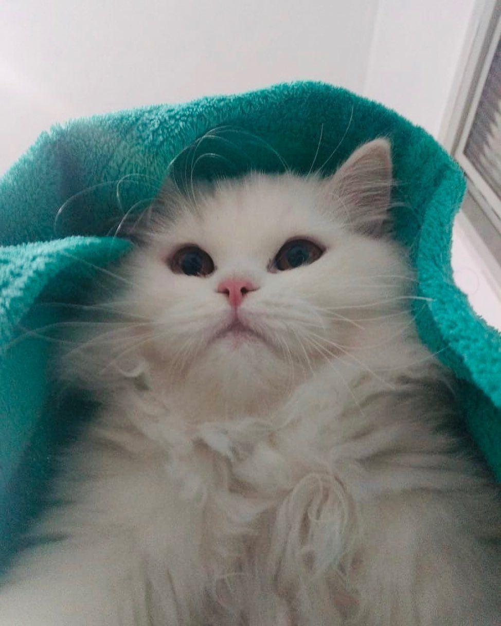 Boa Noite Gatos Gatosfofos Cats Instacat Instagato Gatinhosfofinhos Gatobranco Night Boanoite Catsofinstagr In 2020 Newborn Kittens Kittens Cutest Kittens