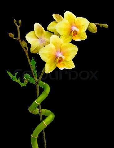 Lucky Bamboo Orchids Bamboo Background Lucky Bamboo Yellow Orchid
