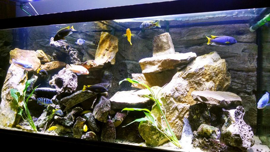 Lake malawi cichlids 75 gallon all glass aquarium with an for Deep blue fish tanks