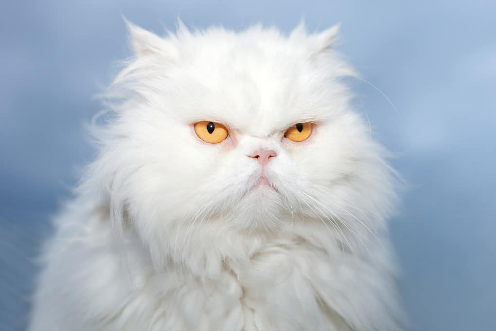 Persian Cats The Ultimate Guide to their History, Types