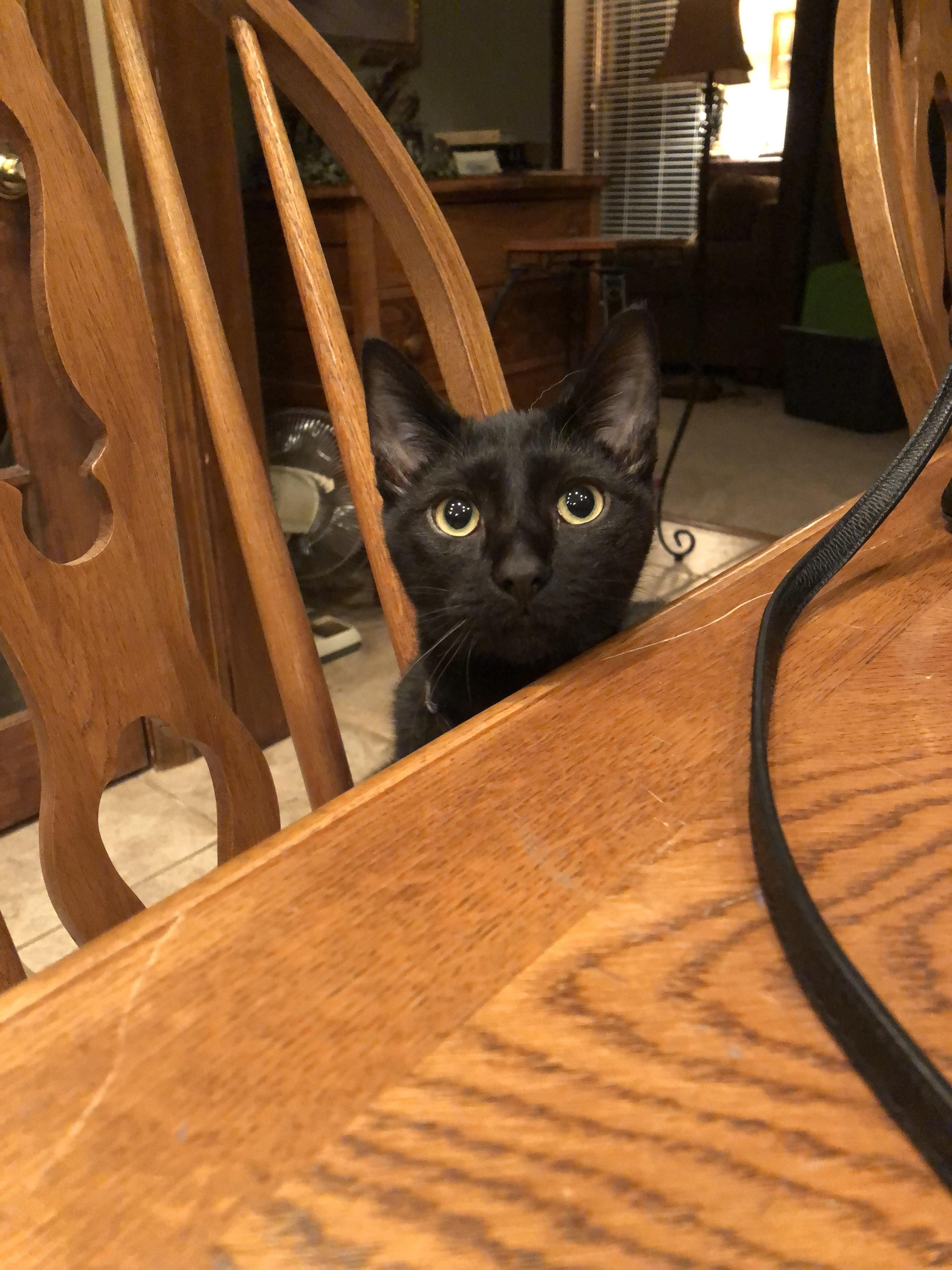 Lil Man Sits At The Table To Watch Me Eat Dinner Hello There Bright People Are You Catlover Or Have You Any Pretty Cats Beautiful Kittens Black Cat Cats