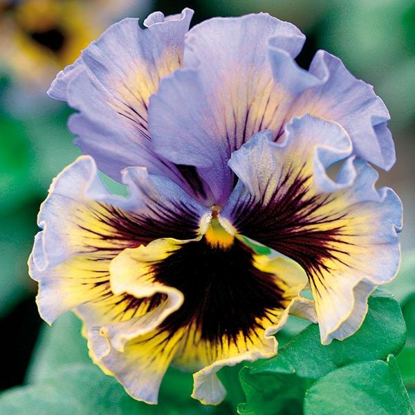 PERENNIAL NEW FRIZZLE SIZZLE PASSION FRUIT PANSY FLOWER SEEDS 35