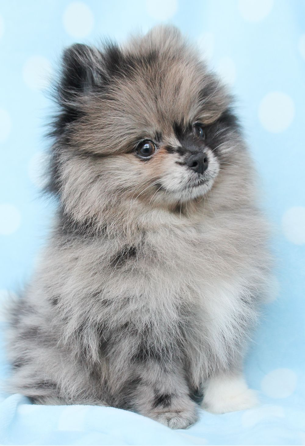 Pomeranian 336 A High Res Jpg 1 000 1 462 Pixels Pomeranian Dog Pomeranian Puppy Puppies