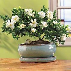 Gardenia Bonsai Tree   Google Search