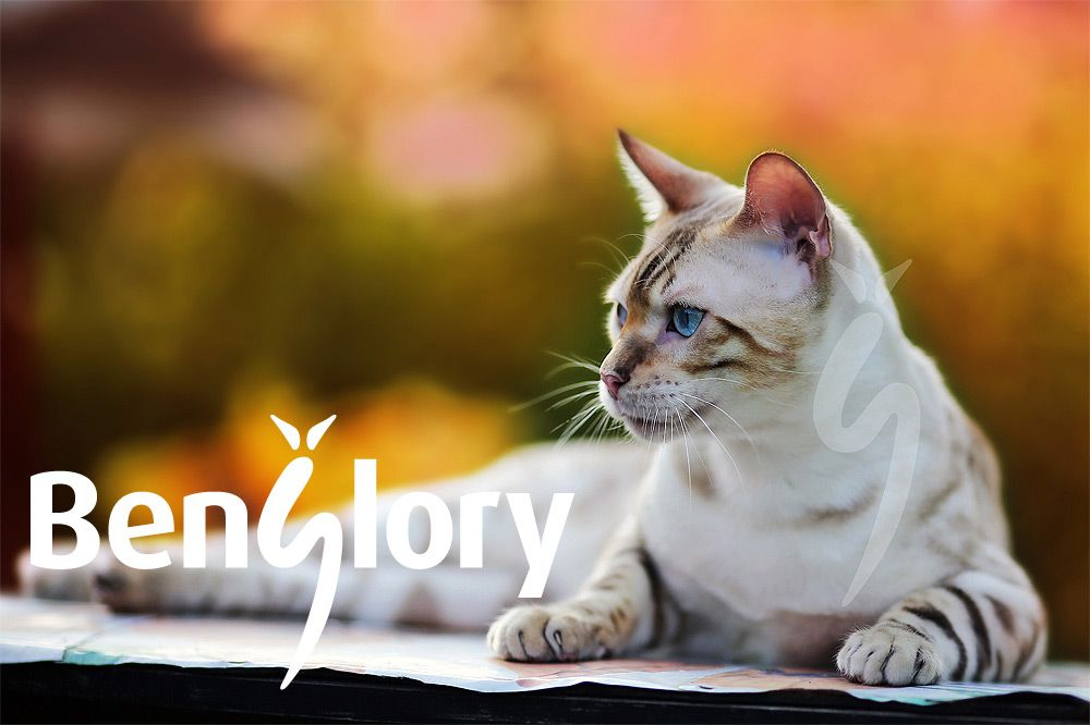 Our RISNSUN YETI is a remarkable snow-colored Bengal http://benglory.com/en/boys/yeti #Bengal #cat