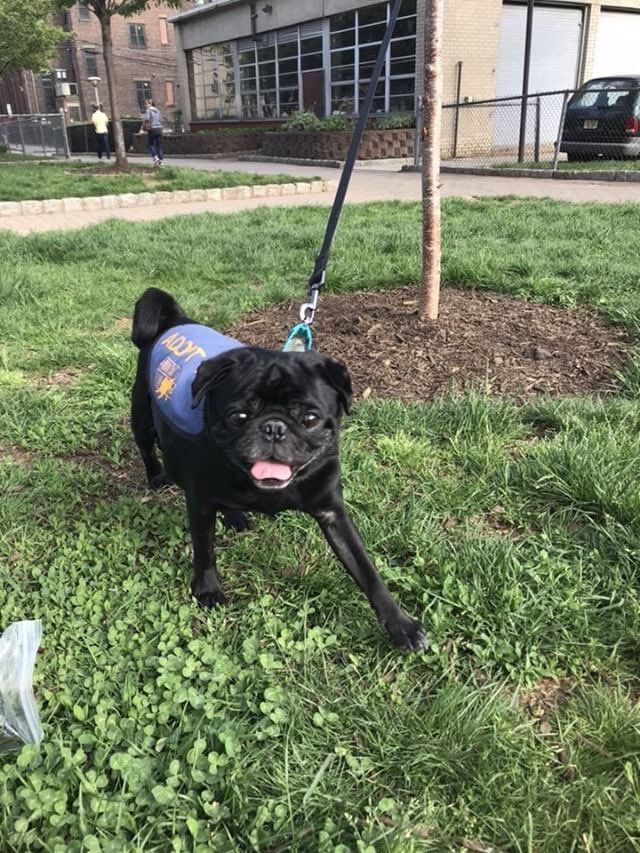 Guys These 2 Adorable Pugs Are Available For Adoption In Nyc