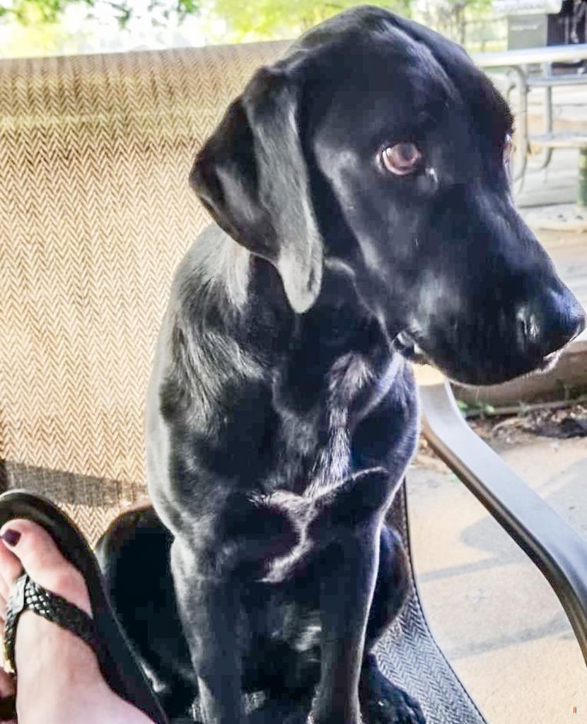Back Home Dog Labrador Retriever Perry, OH, USA 44081