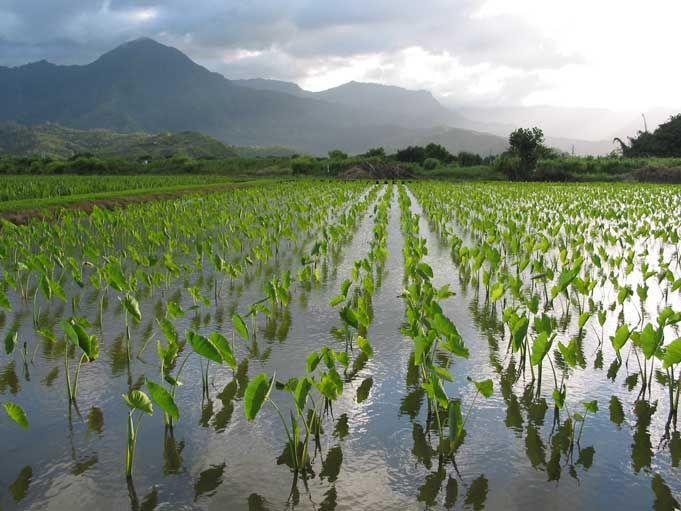 Taro Fields Kauai