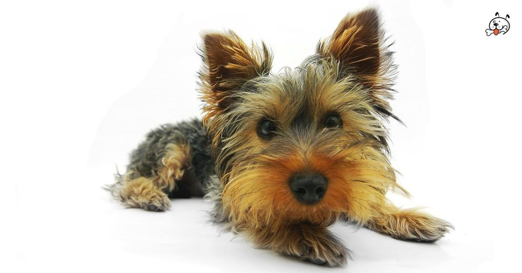 Pin By Puppies4all On Our Loyal Friends Yorkshire Terrier Puppies Yorkshire Terrier Dog Breeds