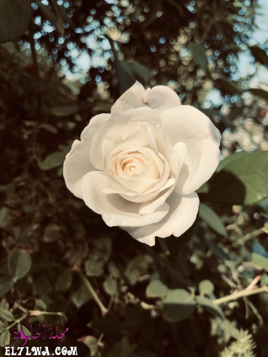 خلفيات ورد خلفيات ورود جميلة جدا خلفيات ورد طبيعي الورد من أكثر الأشياء التي ترسم البسمة وتبعث الر احة والت فاؤل بألوان In 2021 Flowers Flower Close Up Flower Garden