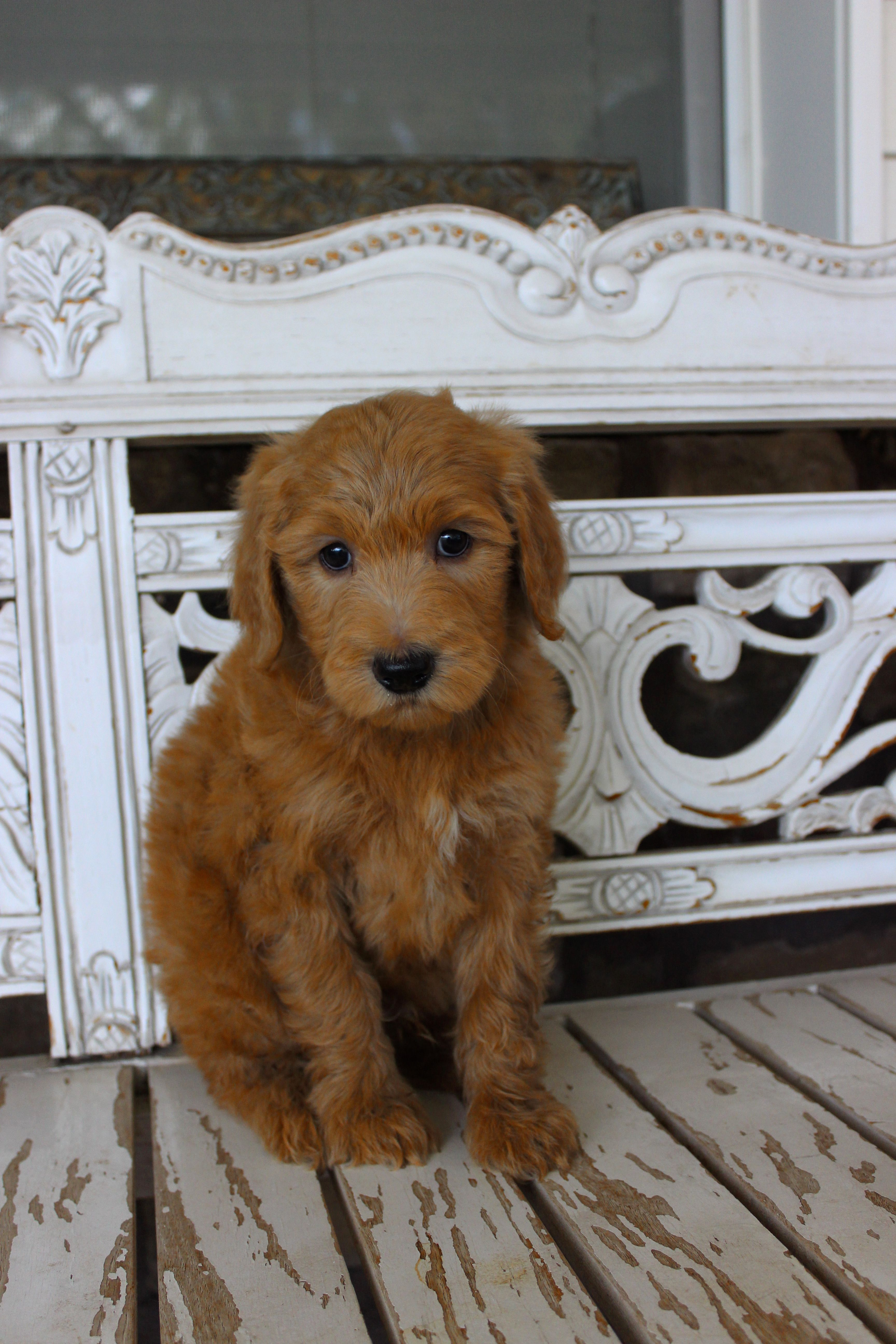 parents also best known of bernedoodle mixed this information picture fans mountain its and breed poodle sheds shedding bernese as that the has boast worlds both breeds dog from pictures