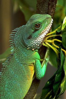 Asian Water Dragons