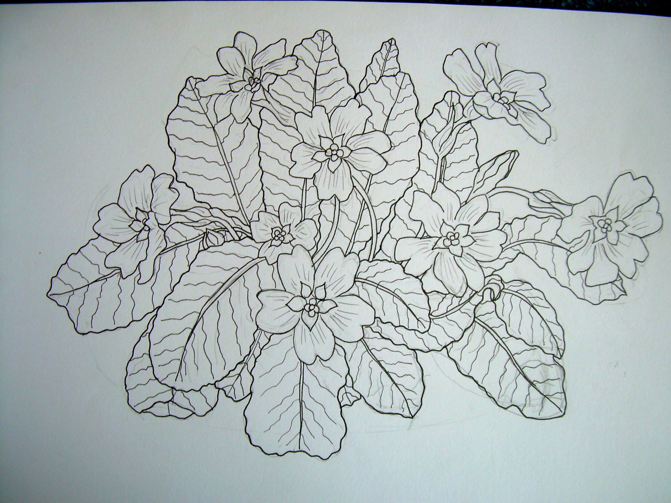 Primrose | Flower sketches, Botanical drawings, Drawings