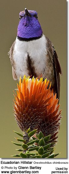 Hummingbirds are the second largest family of birds with over 340 species - 29 of them are on Birdlife Int'l endangered list.