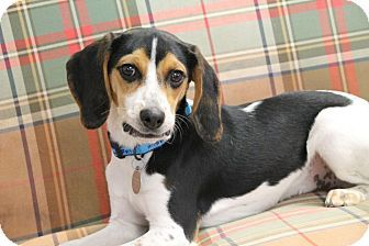 Adopted Knoxville Tn Beagle Hound Unknown Type Mix Meet