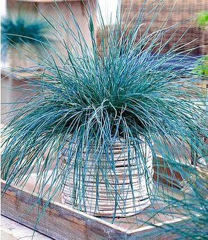 """Ziergras """"Intense Blue"""",1 Pflanze"""