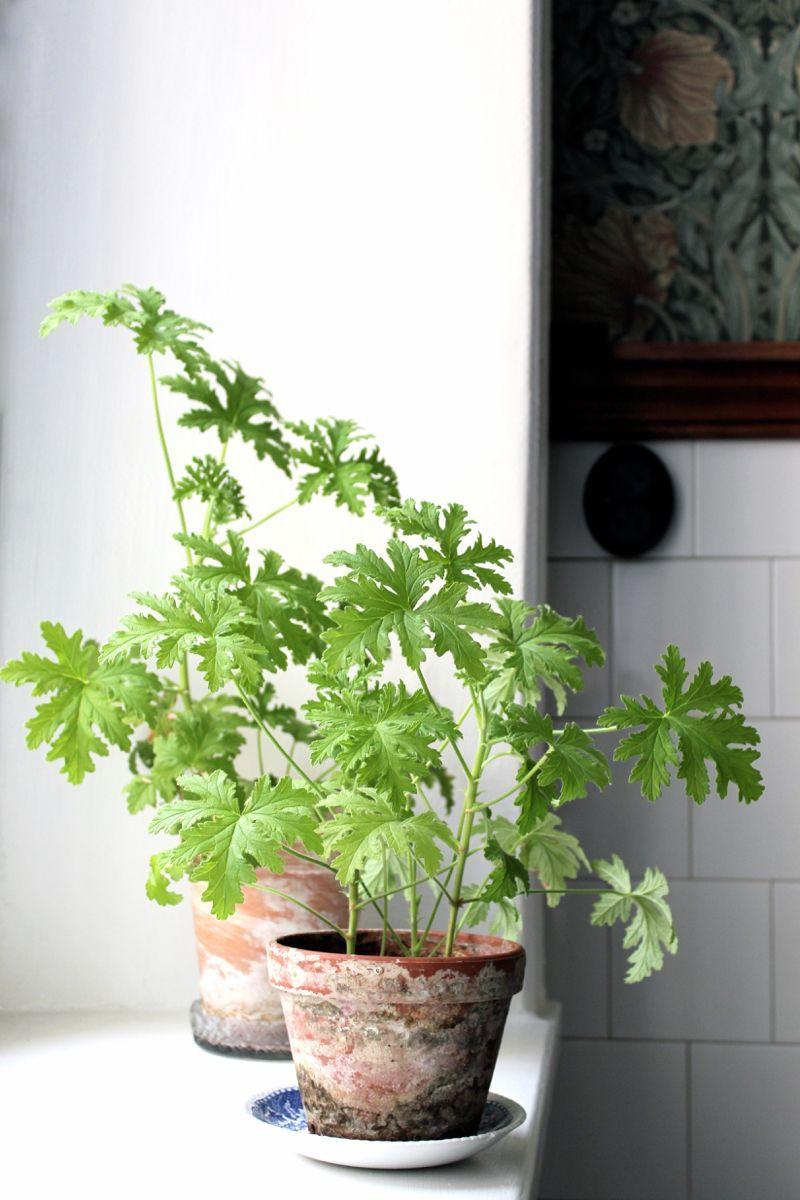 Decoratie Planten Binnen.Veckans Krukvaxt Johanna Bradford Go Green Planten