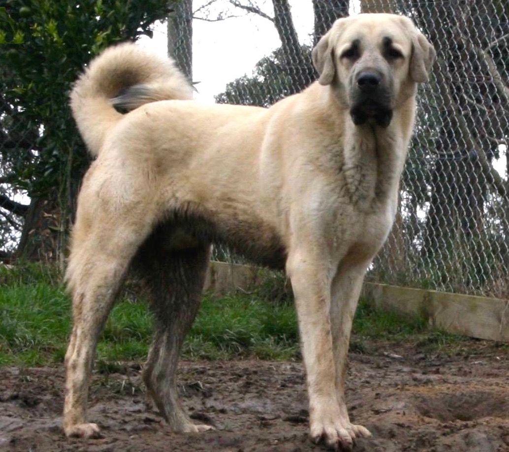 Anatolian Kangal Kangal dog, Anatolian shepherd dog