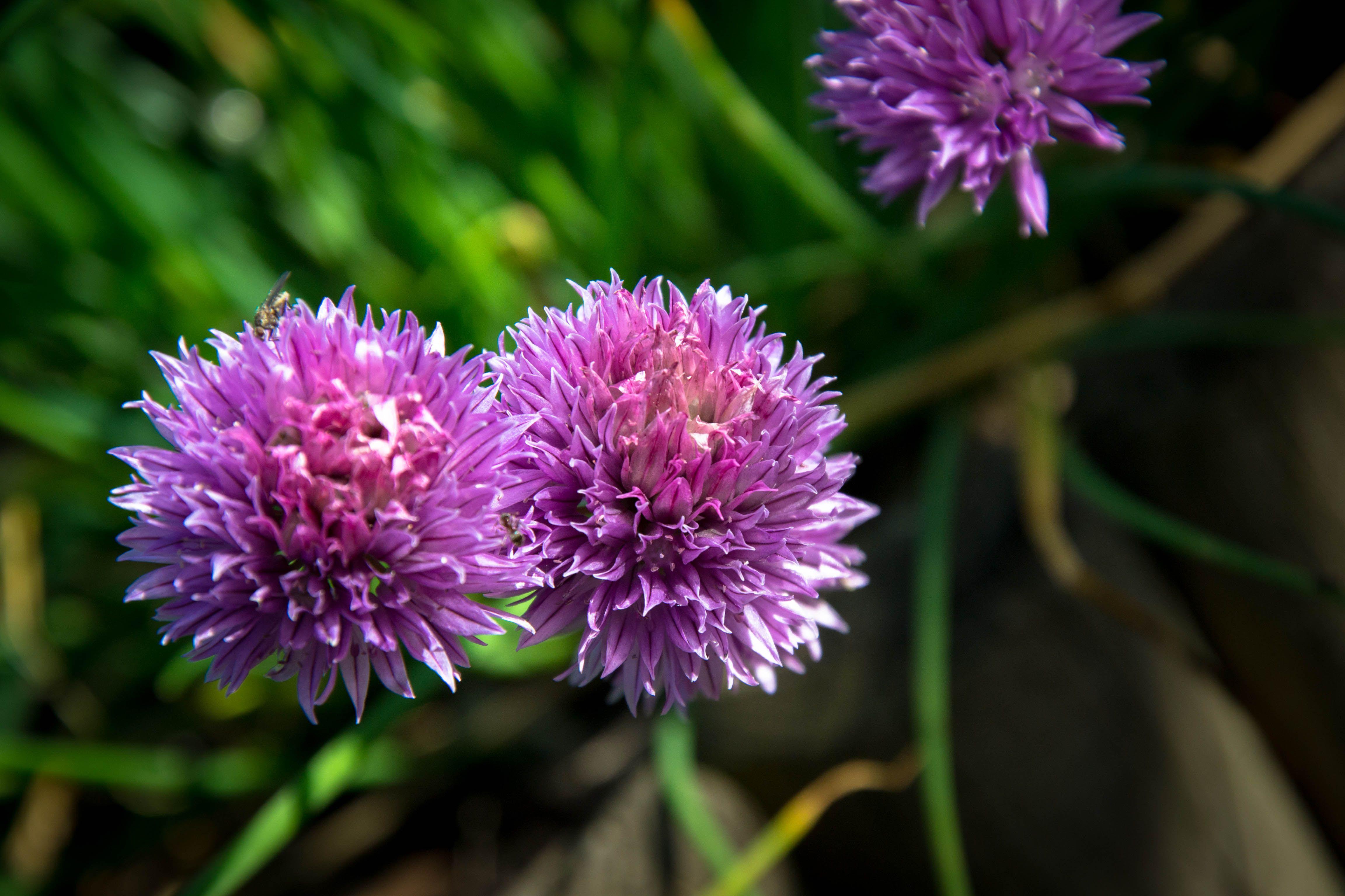 Fleurs de ciboulette - Mai 2014