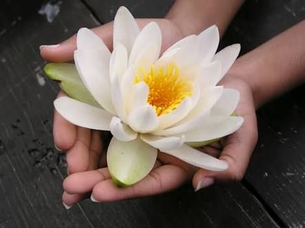 Image Result For Hand Holding Lotus Flower Meaning Flowers Reiki