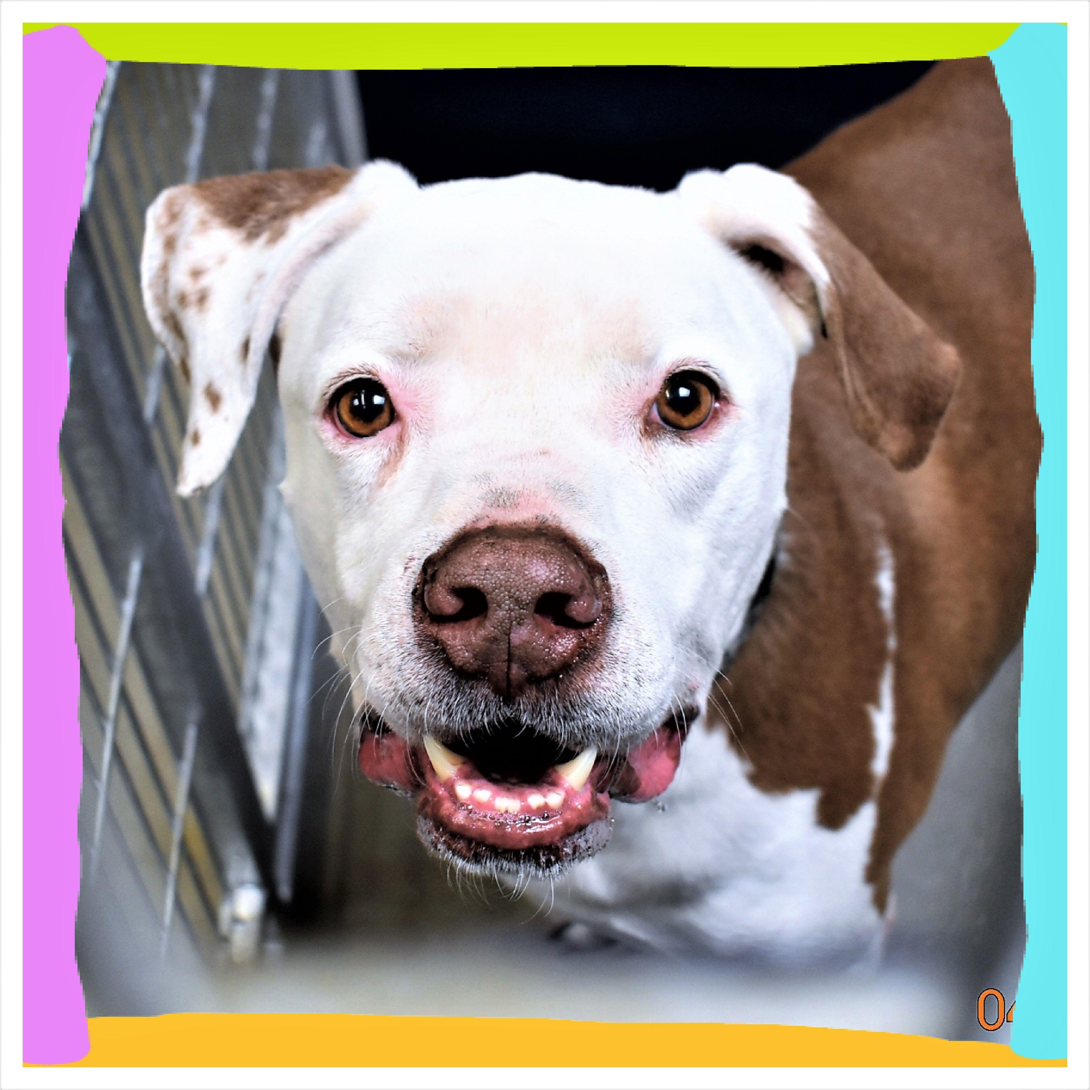 American Bulldog dog for Adoption in San Jacinto, CA. ADN