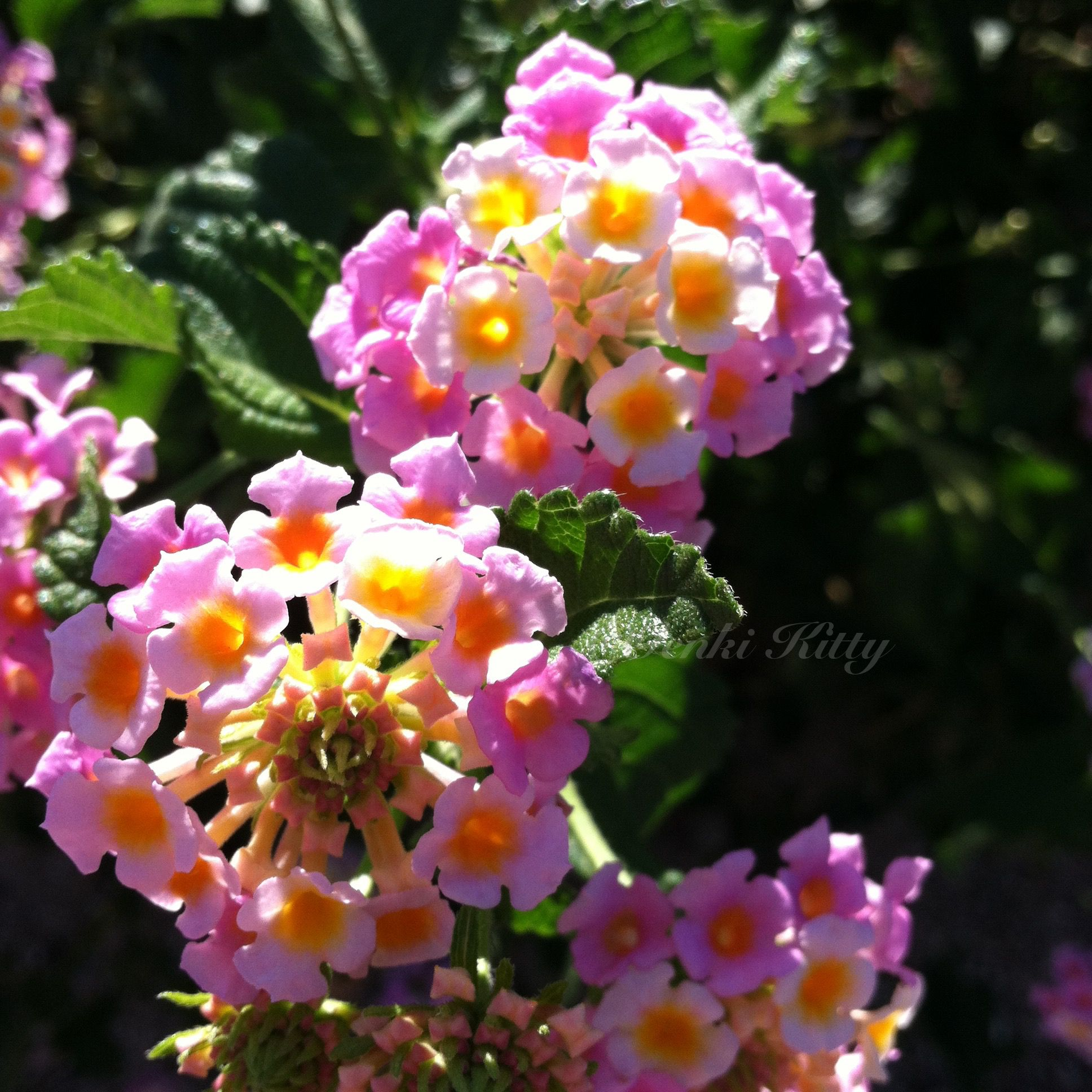 California summer flowers