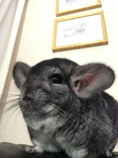 Chinchillas are very easy to care for as long as you find