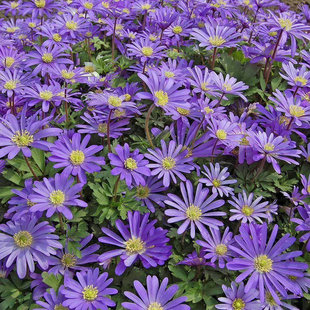 Anemone Blanda Blue Shades Shade Flowers White Flower Farm Plants